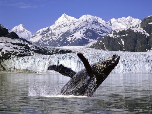A humpback whale in Alaska