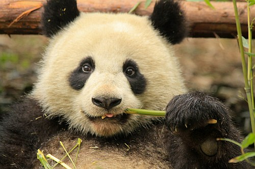Giant Panda research base in Chengdu, China
