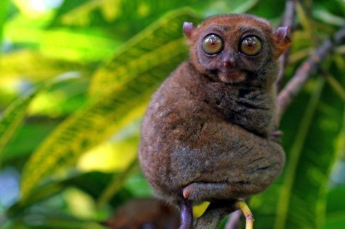 A tarsier on Cebu island in the Philippines